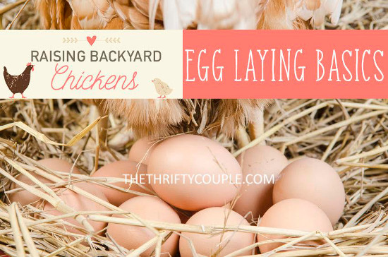 raising-backyard-chickens-egg-laying-basics-steps