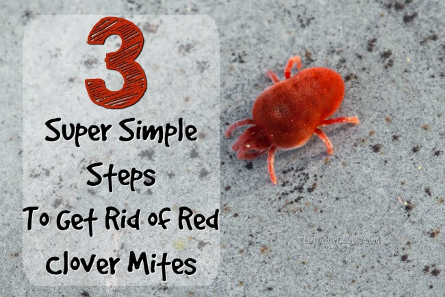 How to Get Rid of Clover Mites: Those Tiny Red Bugs - The Thrifty